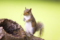 Squirrel and Grass von Geoff du Feu