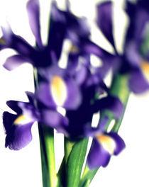 Iris by Thilo Härdtlein