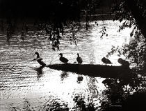 Ducks in a Row by © Joe  Beasley