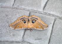 Io-moth