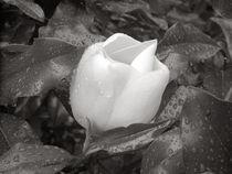 White-rain