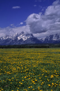 Grand Teton Mountains with Dandelions by Wolfgang Kaehler
