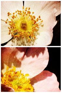 Spring - Roses - Wild von Sybille Sterk