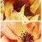 Spring-yellowandpinkroses-c-sybillesterk