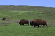 Bisons in Yellowstone by Wolfgang Kaehler