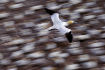 Gannet flying over Colony by Wolfgang Kaehler