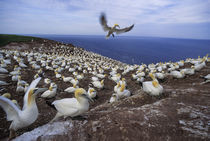 Gannet Colony by Wolfgang Kaehler