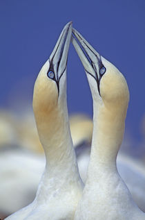 Gannets fencing by Wolfgang Kaehler