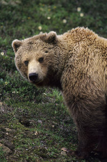 Denali National Park, Grizzly by Wolfgang Kaehler