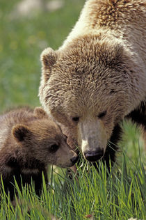 Denali National Park, Grizzly with Cub by Wolfgang Kaehler