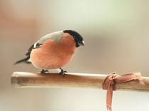 Bullfinch von Ksenia Sinyavina