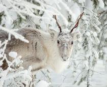 Reindeer by Ksenia Sinyavina