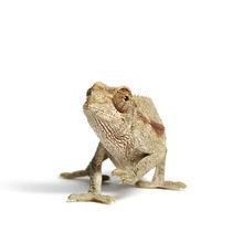 Jackson chameleon, Hawai'i von eric röttinger