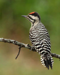 Ladder-backed Woodpecker (Picoides scalaris)  von Howard Cheek