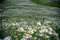 Chamomile meadow. von Anna Vesna