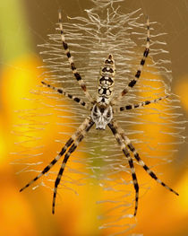 Argiope aurantia (female immature) von Howard Cheek