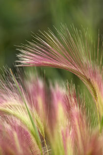 Squirrel Tail Grass, Alaska by Wolfgang Kaehler