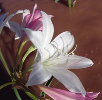 namibian wild flowers/lilly von james smit