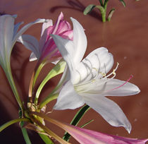 Crinum Paludosum wild flowers africa by james smit