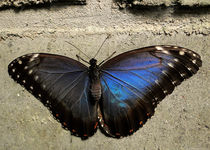 butterfly blue namibia africa von james smit