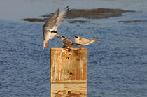 Tern Feeding Baby Birds, Bolsa Chica, California by Eye in Hand Gallery