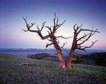 Dt639beaverhead-limber-pine