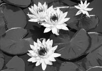 Monochrome-lilies