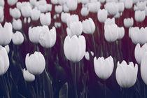 white tulips by Anna Pichugina