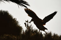 Night Heron Building a Nest, Newport Beach, California by Eye in Hand Gallery