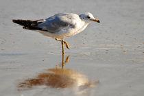 Seagull Wading, Newport Beach, California von Eye in Hand Gallery