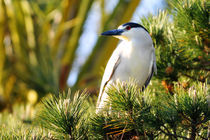 Night Heron in a Tree, Newport Beach, California by Eye in Hand Gallery