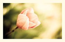 delicate tulip von Margo Khalys