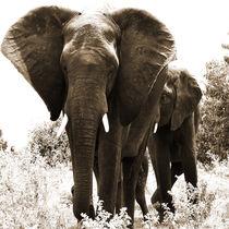 elephant von james smit