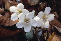 Oxalis griffithii by Yukio Otsuki