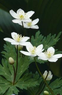 Anemone flaccida by Yukio Otsuki