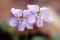 Viola grypoceras by Yukio Otsuki