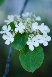 Viburnum furcatum by Yukio Otsuki