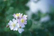 Rosa multiflora by Yukio Otsuki