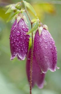 Campanula punctata Lam. var. hondoensis (Kitam.) Ohwi by Yukio Otsuki