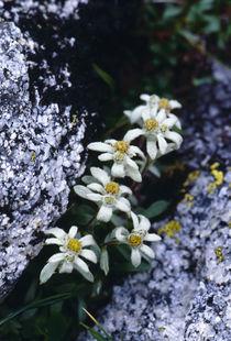 Leontopodium shinanense by Yukio Otsuki