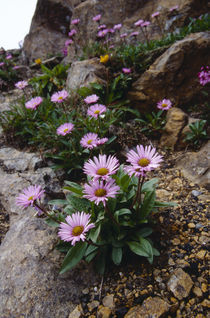 Erigeron thunbergii subsp. glabratus by Yukio Otsuki