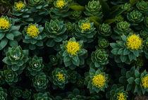 Rhodiola rosea by Yukio Otsuki