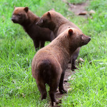 Group of Bush Dogs standing together by Linda More