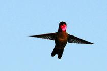 Hummingbird in Flight by Eye in Hand Gallery