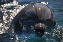 Dolphin Head by Eye in Hand Gallery