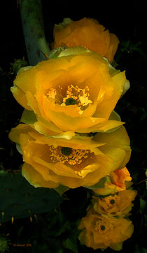 Cactus Flower Song by © CK Caldwell