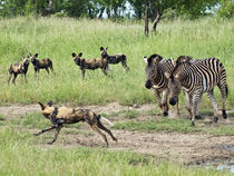 Wilddog-being-chased-by-zebras