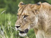 Lioness,lion female, facial portrait by Yolande  van Niekerk