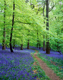 Forest of Dean Bluebells, Gloucestershire, England von Craig Joiner