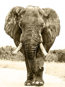 Elephant-in-road-bw-sepia